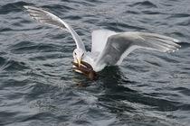 Gull_starfish_2