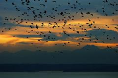 Starling_flock