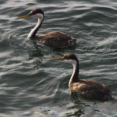 Western_grebes_9962
